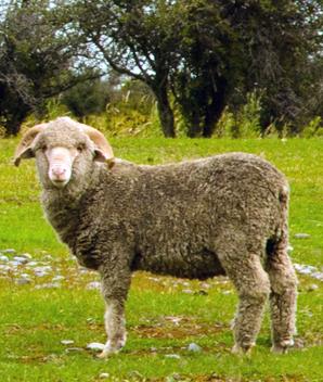 la tonte de mouton bientôt aux j.o ?
