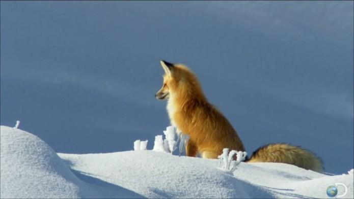 renard roux hiver