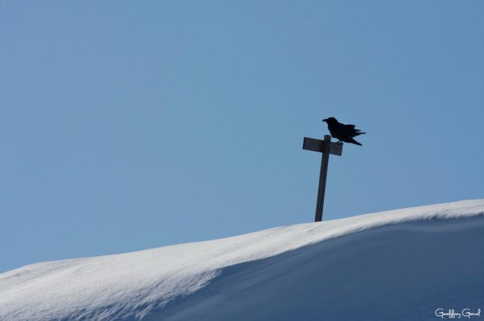 Grand corbeau, guetteur des cîmes
