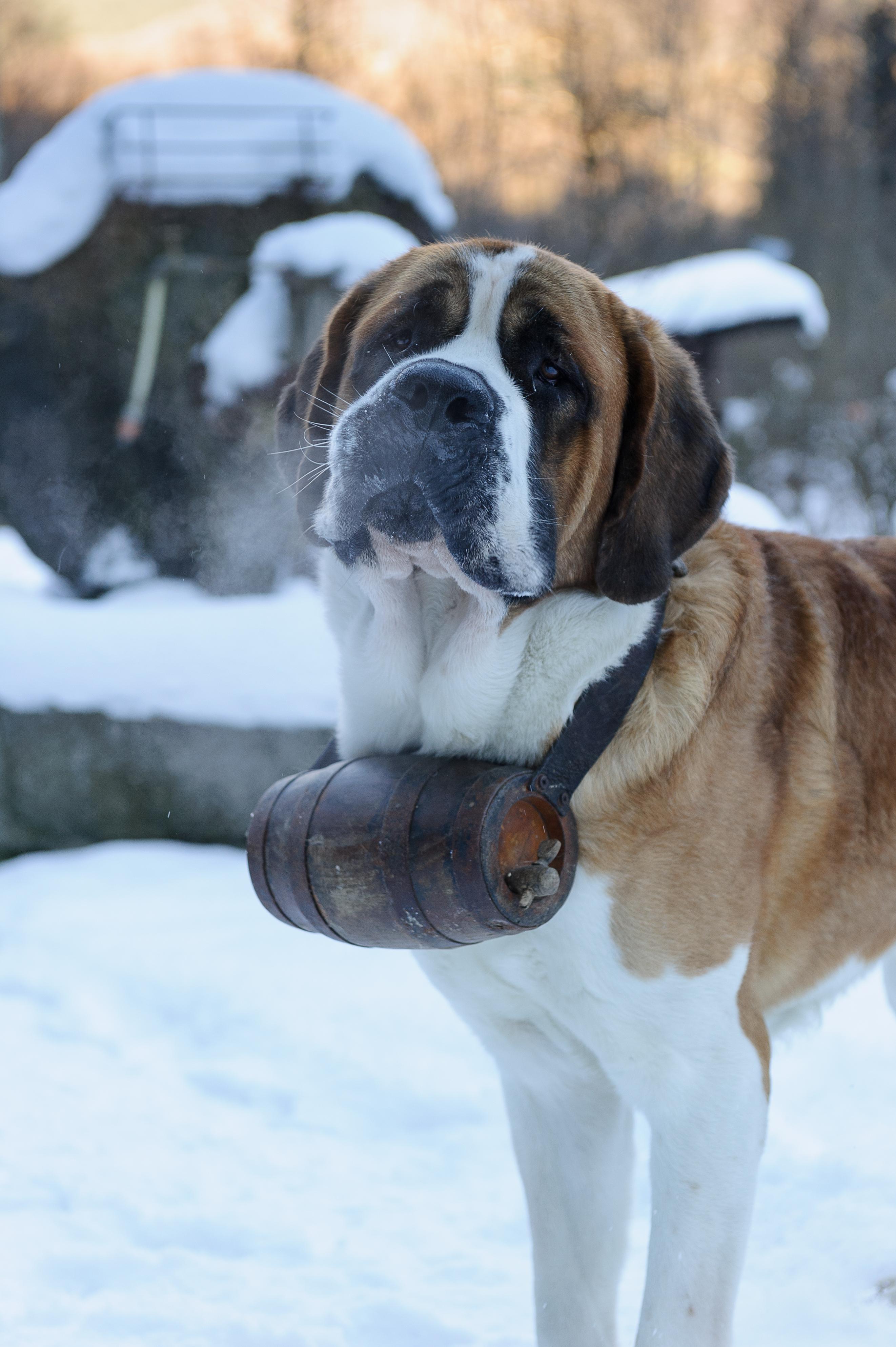 St Bernard Mythical Dog Of Mountains