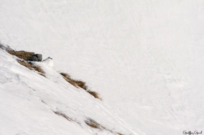 Lagopède alpin mâle en plumage d'hiver