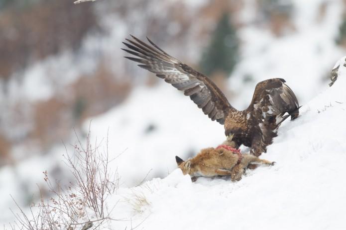 aigle dans la neige