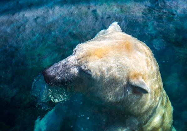 ours dans l'eau
