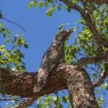 oiseau ibijau découverte