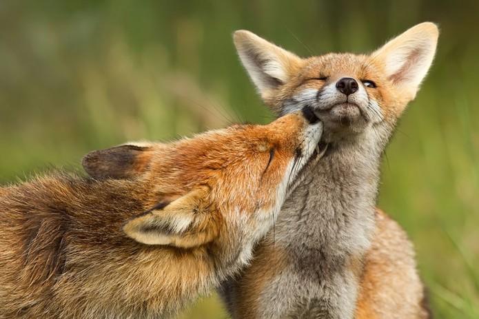 renard sauvage