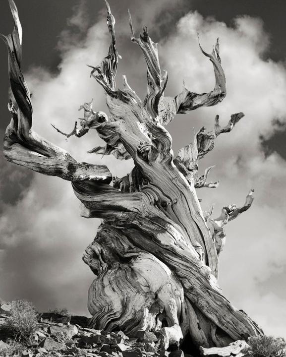 Bristlecone Pine, USA Beth Moon Trees 3