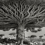 Heart of the Dragon, Yemen, Beth Moon Trees 1