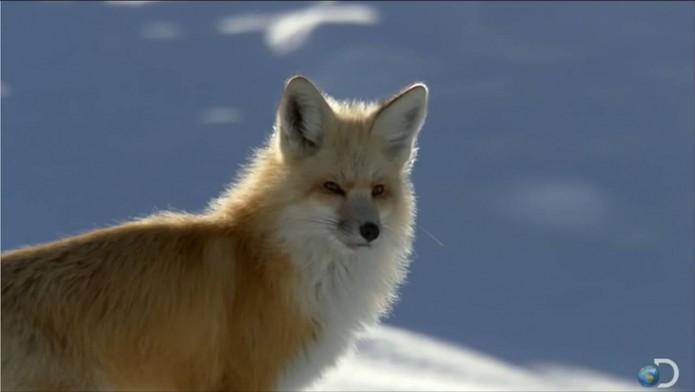 6_Le-renard-roux