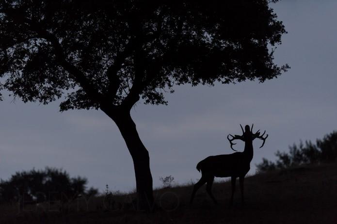 Cerf sous un chêne