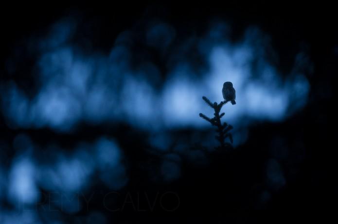 chevêchette d'Europe - Glaucidium passerinum passerinum_nov.2014