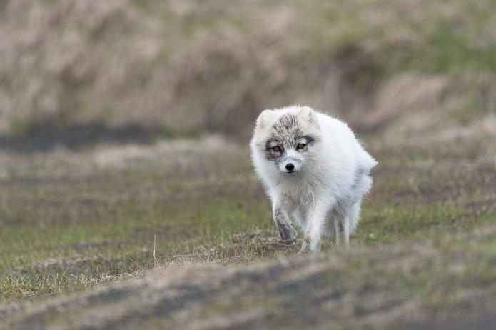 renard polaire d'Islande - vulpes lagopus fuliginosus_mai2011