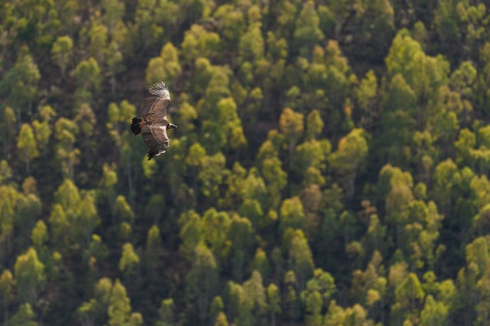 vautour fauve - Gyps fulvus fulvus_oct.2011