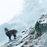 bouquetin des Alpes - capra ibex_nov.2014-6