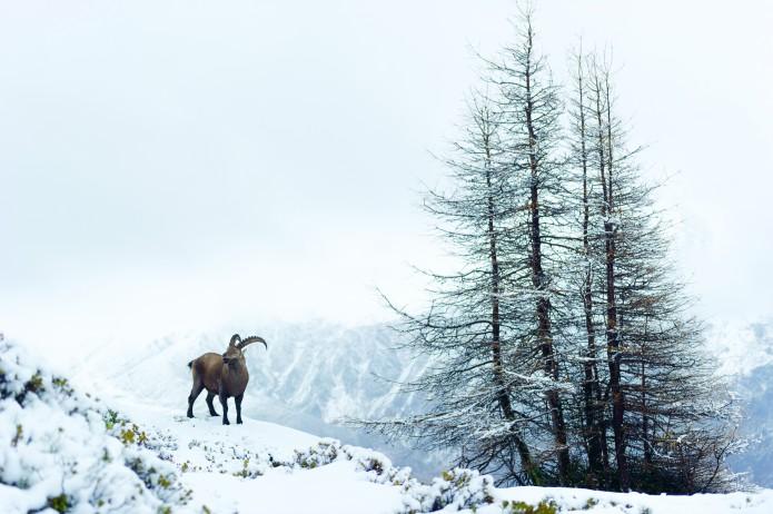 bouquetin des Alpes - capra ibex_nov.2014-9