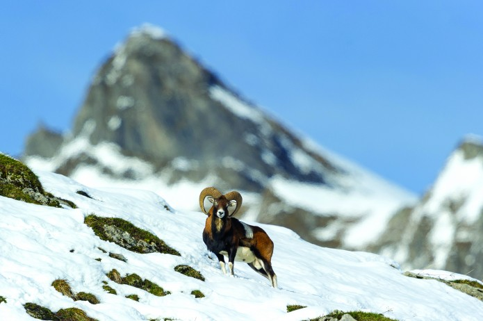 mouflon méditerranéen - Ovis gmelini musimon_nov.2014-4