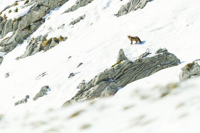 renard roux - vulpes vulpes_nov.2013