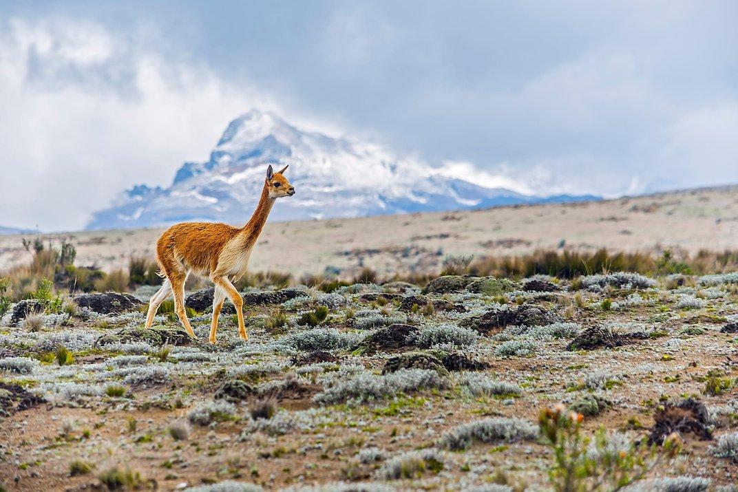 Kristhian Castro - South American Camelids - smithsonian photo contest