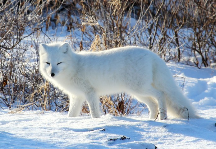 arctic fox Emma