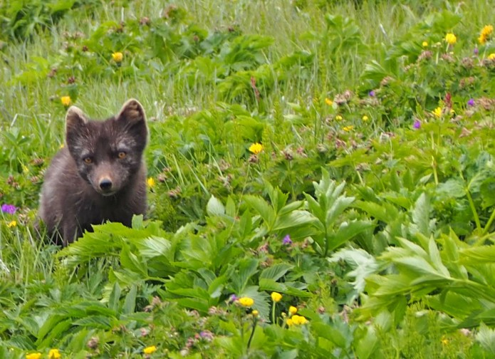 arctic fox by Jean François Lurol