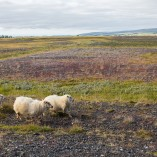 Moutons Islande